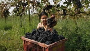 A worker collects grapes in a plastic bin at Aythaya wine estate in Aythaya, near Taunggyi, the capital of northeastern Shan state, Myanmar